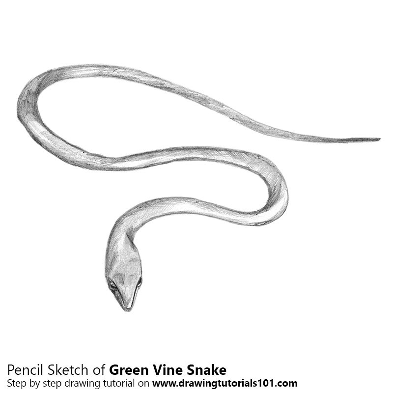 Pencil Sketch of Green Vine Snake - Pencil Drawing