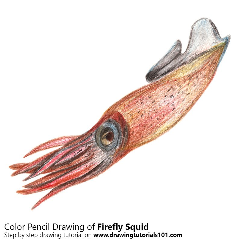 Firefly Squid Colored Pencils - Drawing Firefly Squid with Color ...