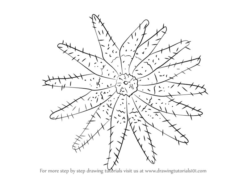 Learn How To Draw A Crown Of Thorns Starfish Starfishes Step By Step Drawing Tutorials Start studying crown of thorns starfish. to draw a crown of thorns starfish