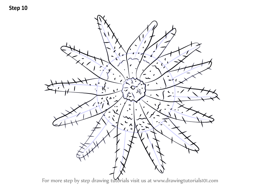 Learn How To Draw A Crown Of Thorns Starfish  Starfishes