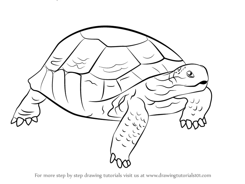 Line Drawing Of Desert Animals : Step by how to draw a desert tortoise