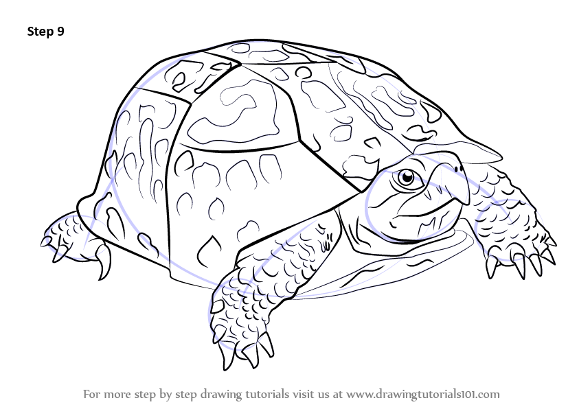 learn how to draw an eastern box turtle turtles and tortoises step