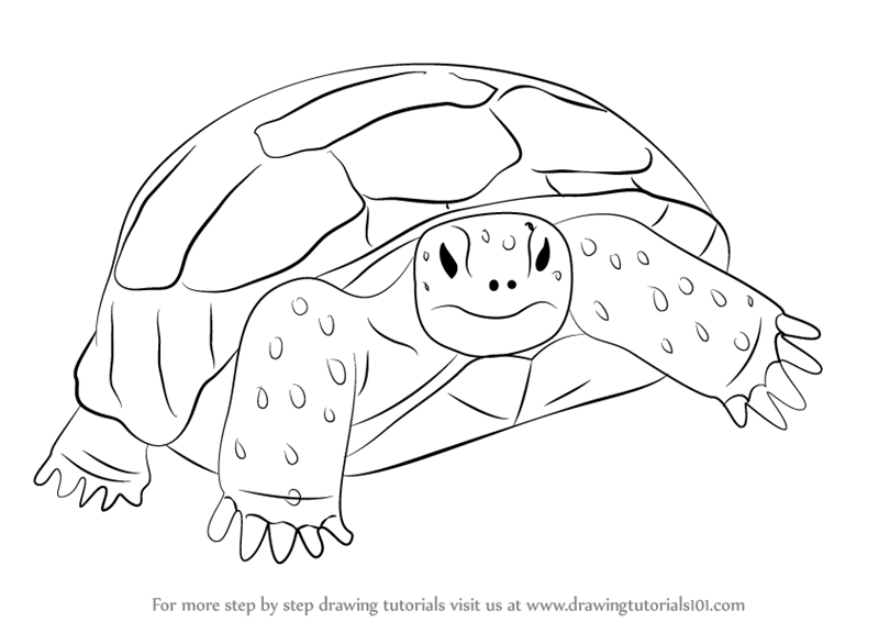 Learn How To Draw A Gopher Tortoise Turtles And Tortoises Step By