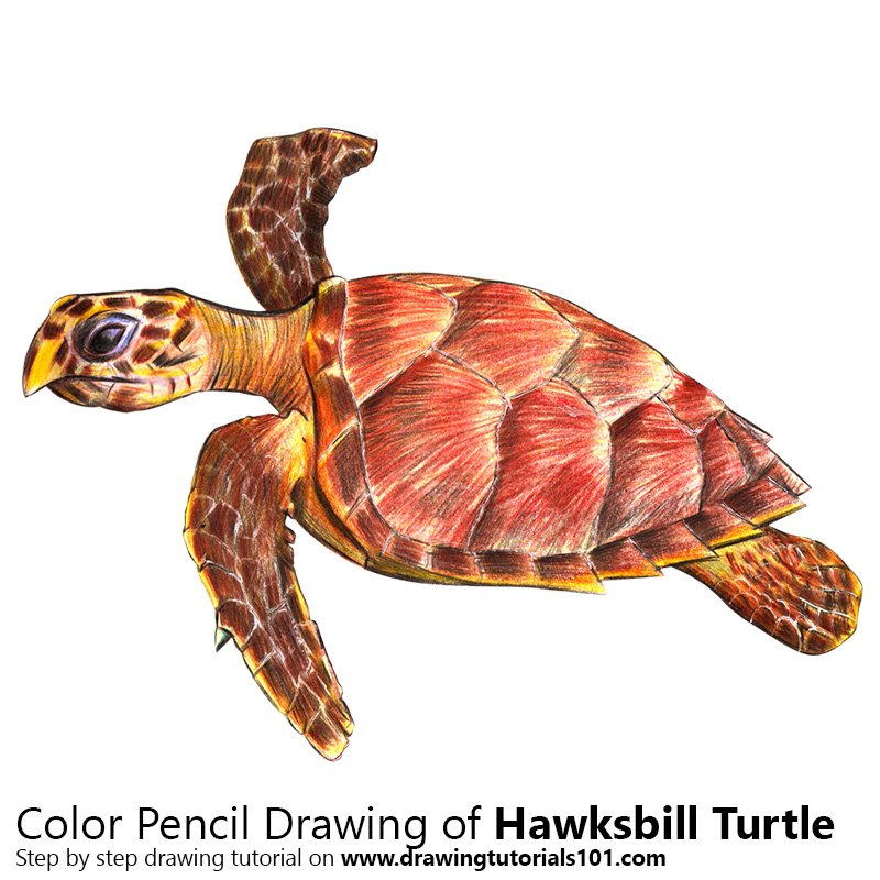 Hawksbill Turtle Colored Pencils Drawing Hawksbill Turtle With