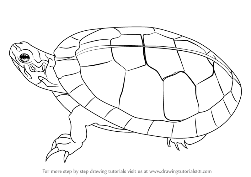 Learn How to Draw a Painted Turtle Turtles and Tortoises Step by
