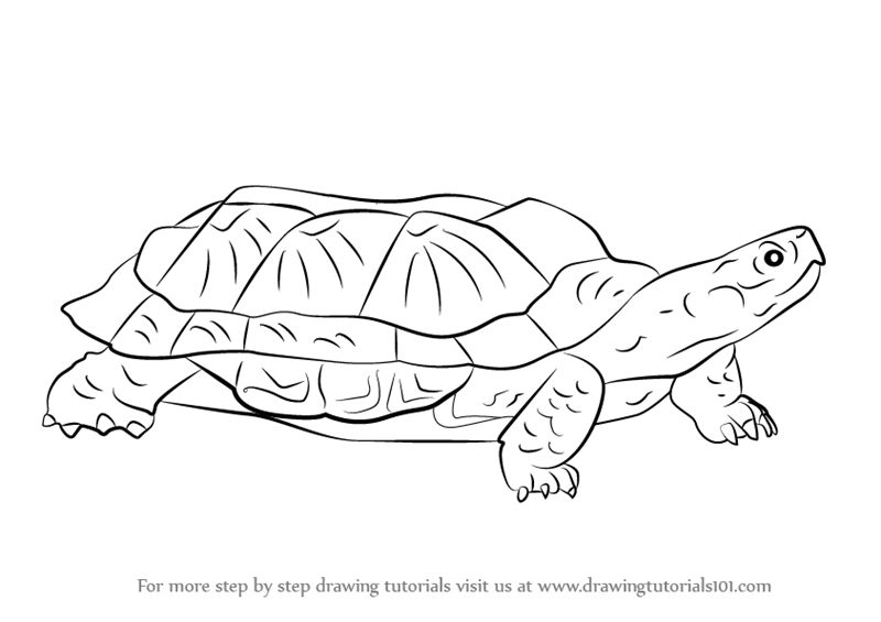 How To Draw A Wood Turtle Step By Step on turtle outline