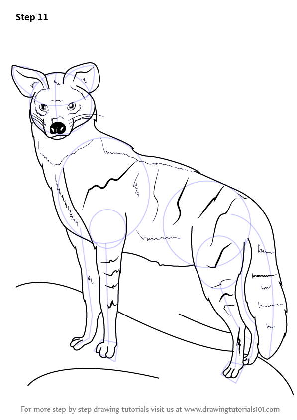 Step by Step How to Draw an Aardwolf