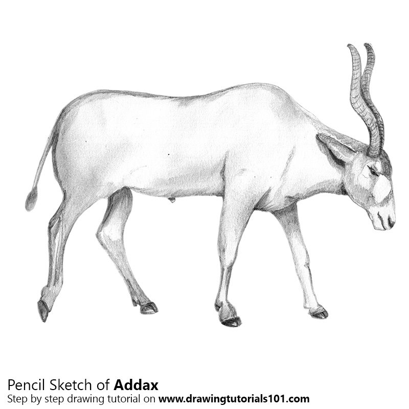 Pencil sketch of addax pencil drawing