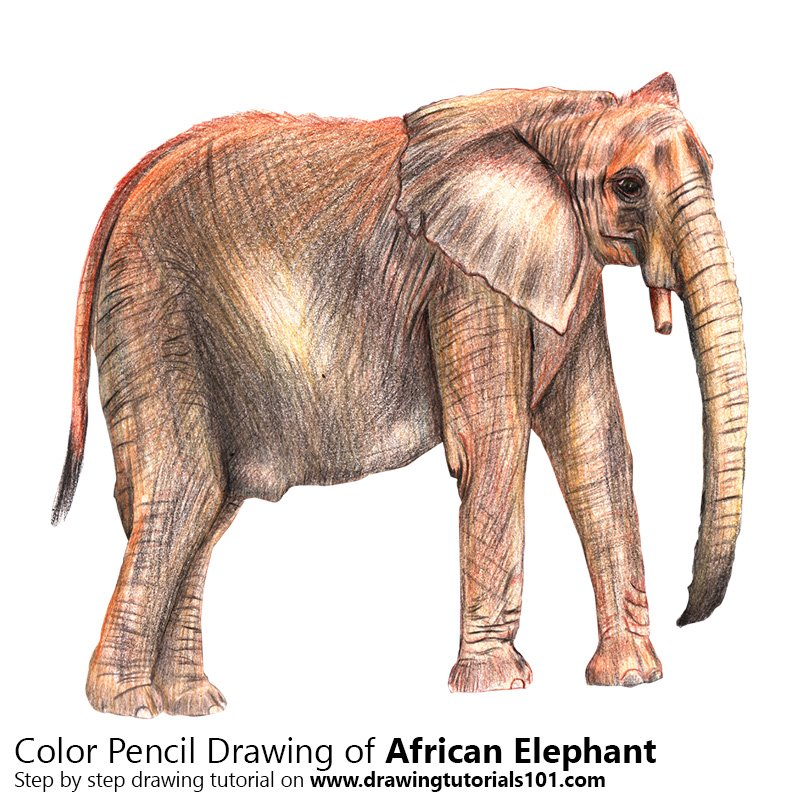 African Elephant Color Pencil Drawing