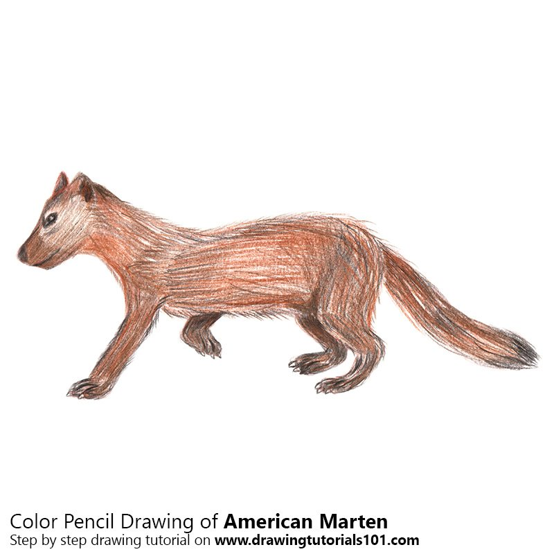 American Marten Color Pencil Drawing