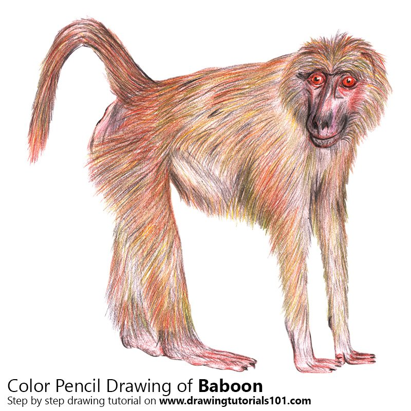 Baboon Color Pencil Drawing