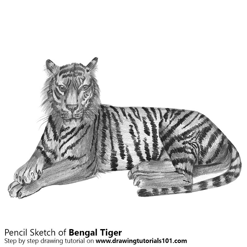 Pencil sketch of bengal tiger pencil drawing