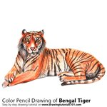 Bengal Tiger Color Pencil Sketch