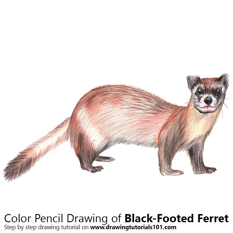 Black-Footed Ferret Color Pencil Drawing
