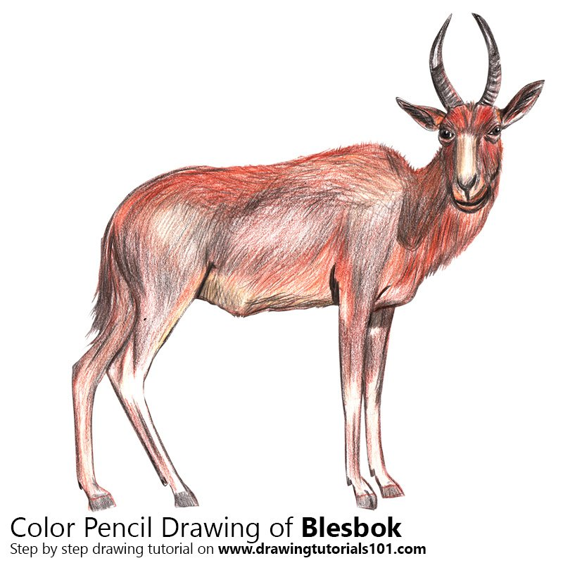Blesbok Color Pencil Drawing