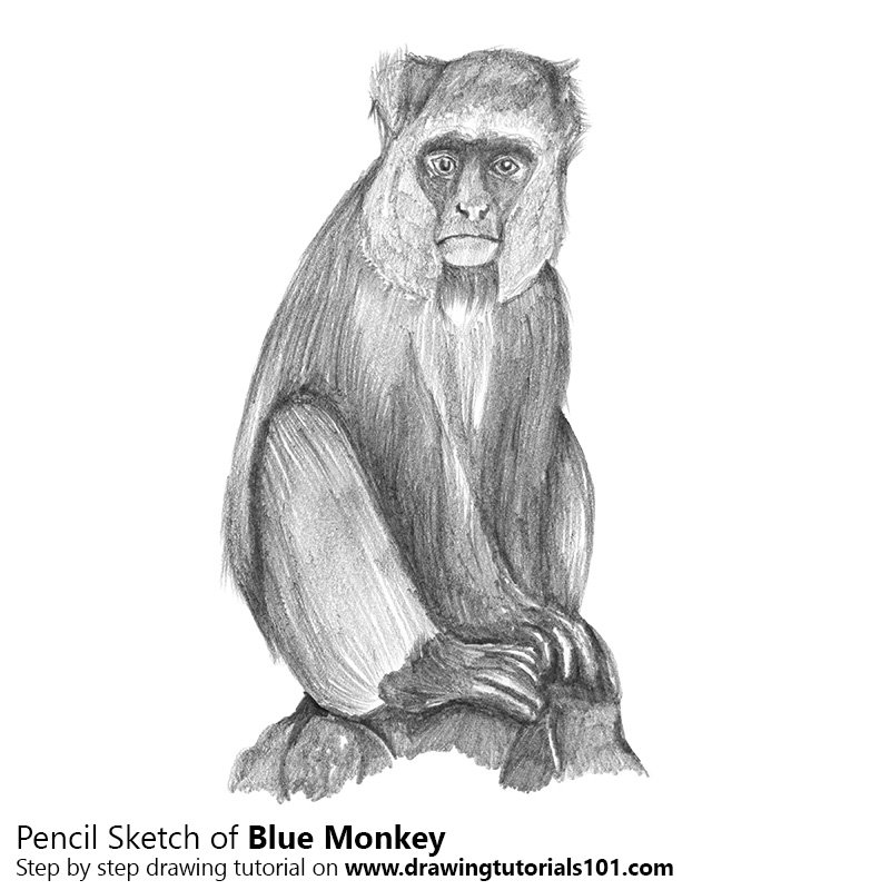 Pencil sketch of blue monkey pencil drawing