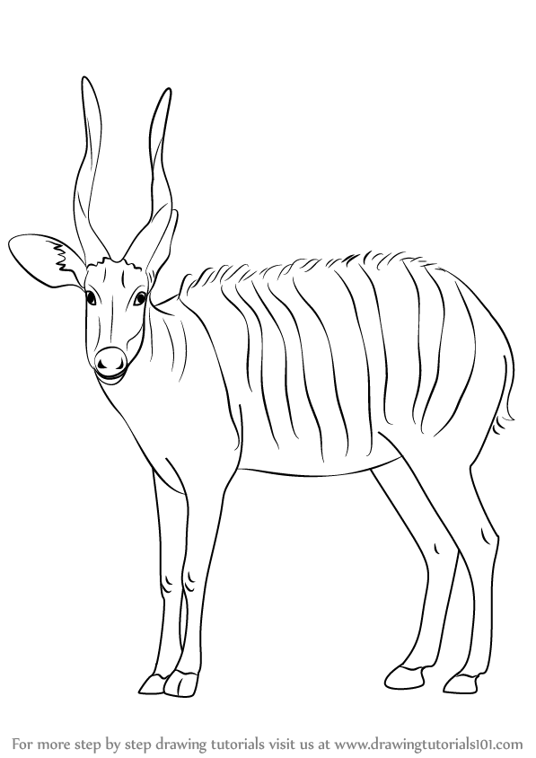Learn How to Draw a Bongo Antelope