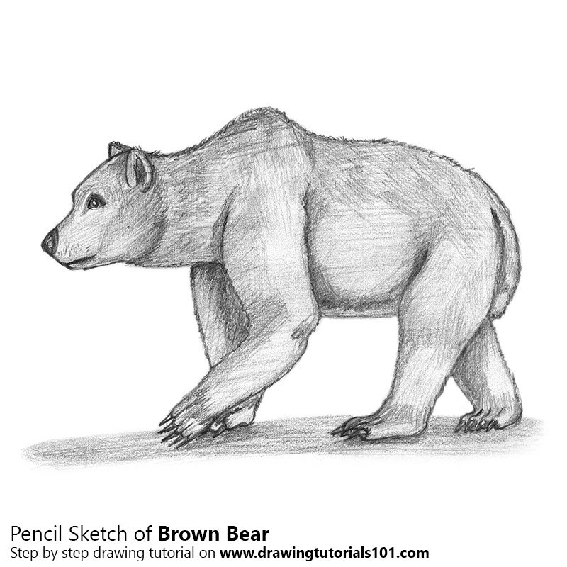 Brown bear pencil drawing how to sketch brown bear using pencils drawingtutorials101 com
