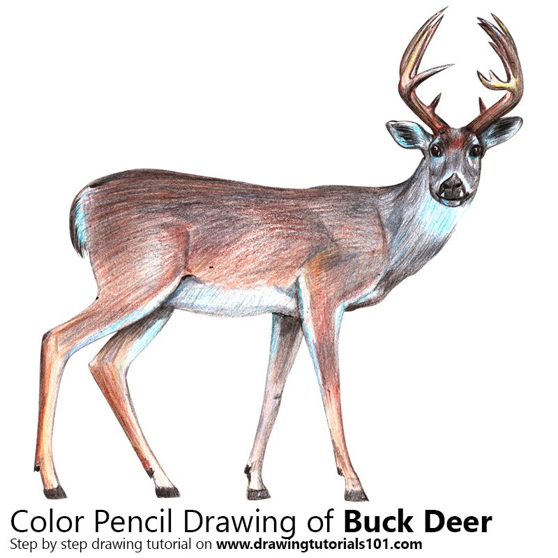 Buck Deer Color Pencil Drawing