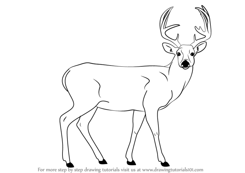 Line Drawings Of Animals Deer : Step by how to draw a buck deer drawingtutorials