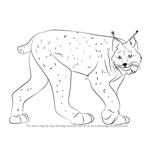 How to Draw a Canada Lynx