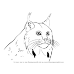How to Draw a Canada Lynx Face