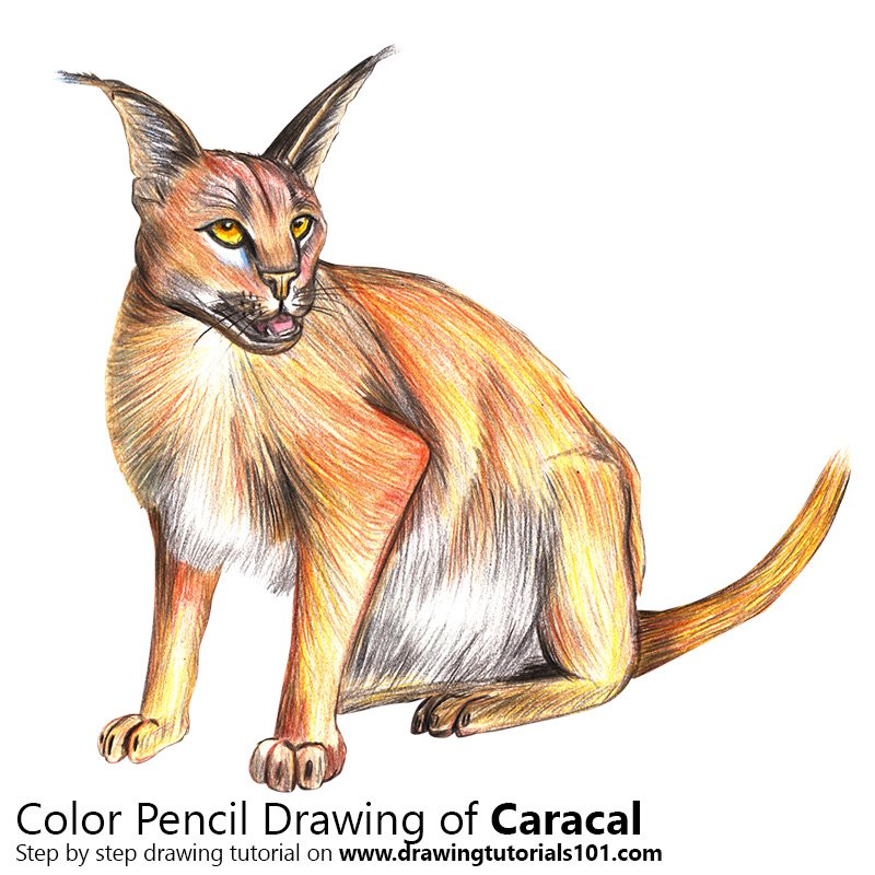 Caracal Color Pencil Drawing
