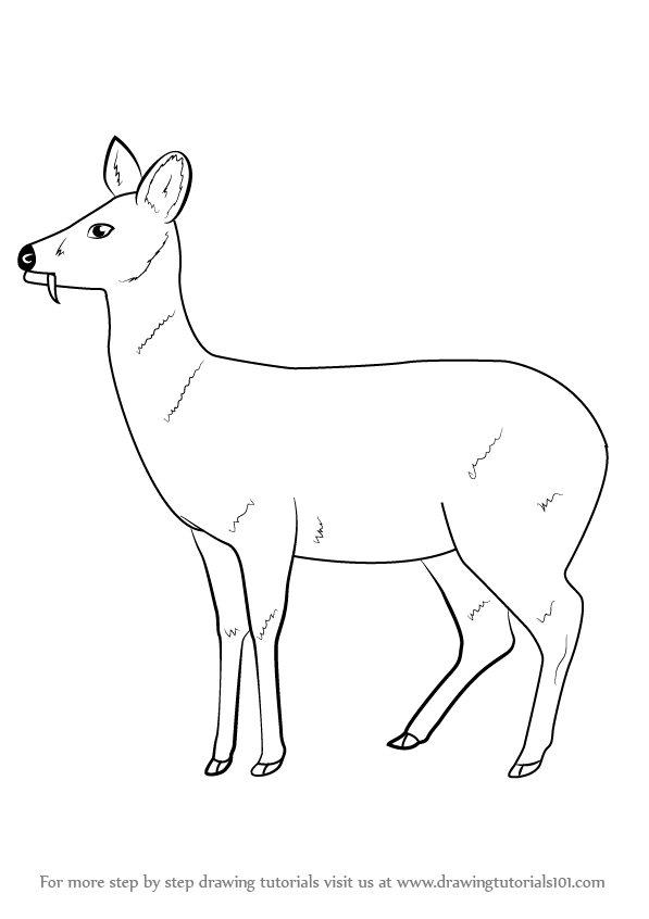 Line Drawings Of Animals Deer : Learn how to draw a chinese water deer wild animals step