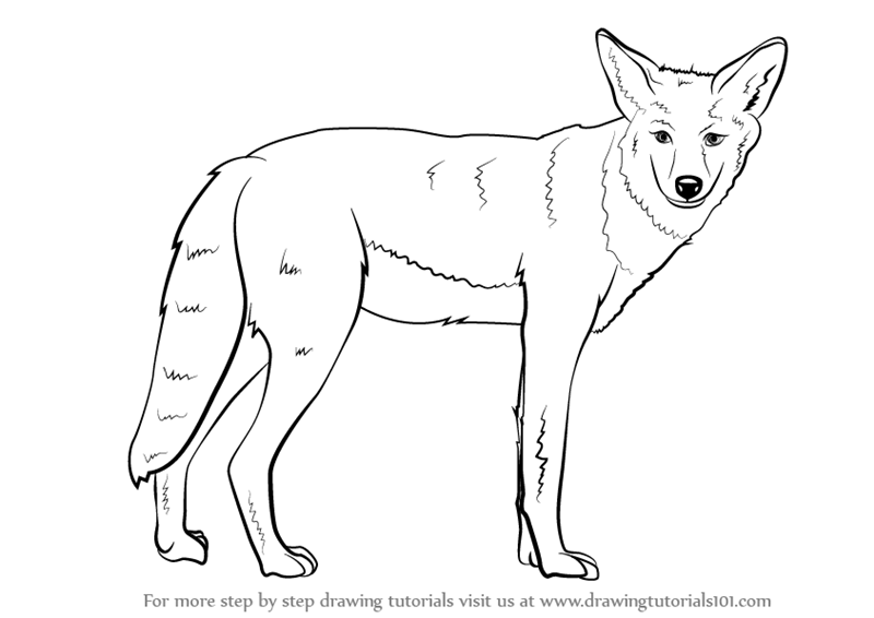 learn how to draw a coyote  wild animals  step by step