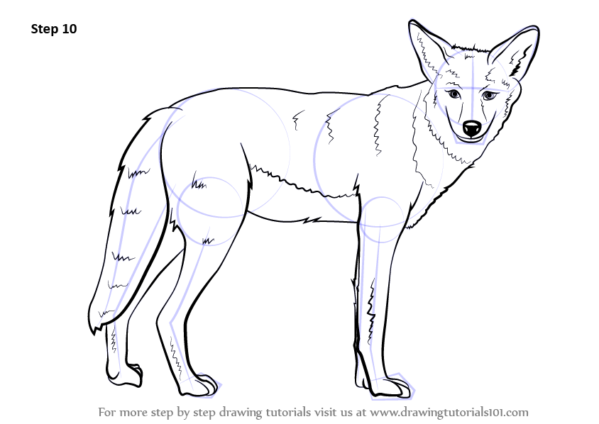Learn How to Draw a Coyote (Wild Animals) Step by Step ...
