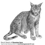 How to Draw a Eurasian Lynx