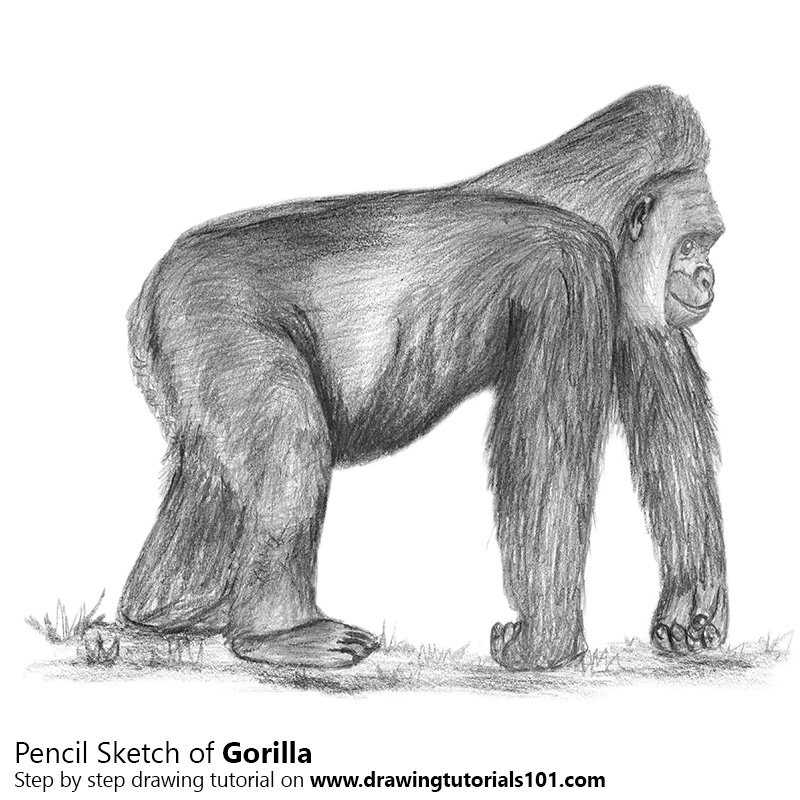 Pencil sketch of gorilla pencil drawing