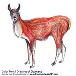 How to Draw a Guanaco
