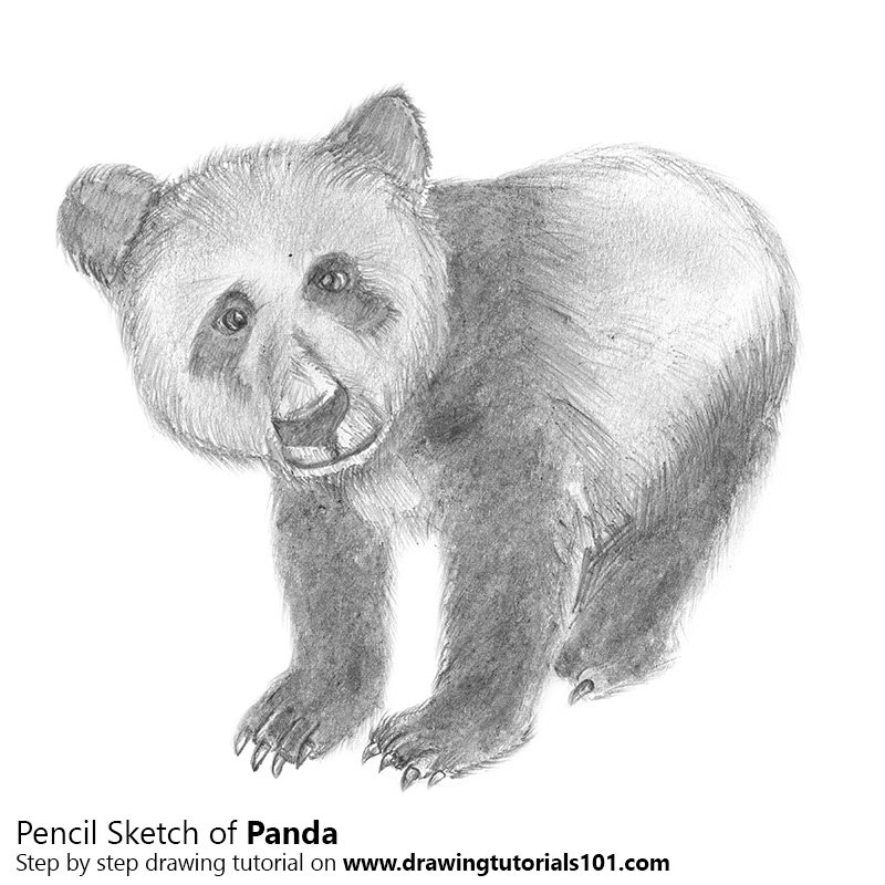 Pencil Sketch of Panda - Pencil Drawing