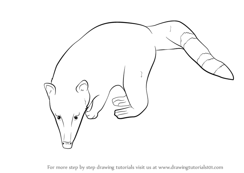 Learn How To Draw A Ring tailed Coati Wild Animals Step