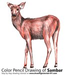 Sambar Deer Color Pencil Sketch