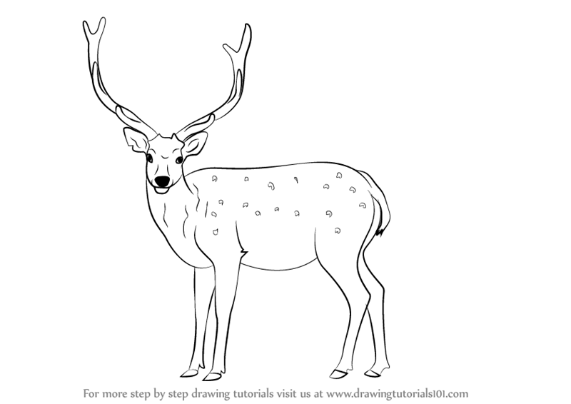 Learn How To Draw A Sika Deer (Wild Animals) Step By Step