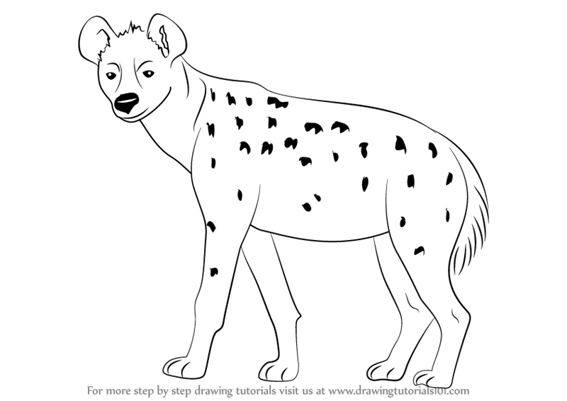step by step how to draw a spotted hyena drawingtutorials101com