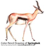 Springbok Color Pencil Sketch