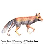 Tibetan Fox Color Pencil Sketch