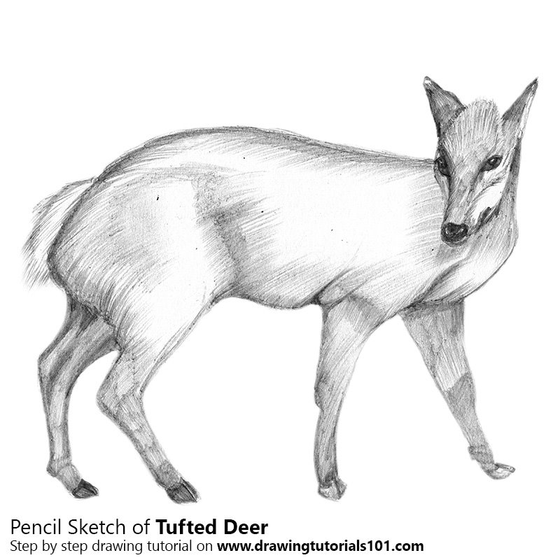 Pencil Sketch of Tufted Deer - Pencil Drawing