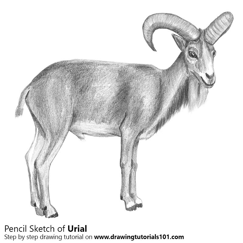 Pencil sketch of urial pencil drawing