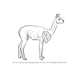 How to Draw a Vicuna