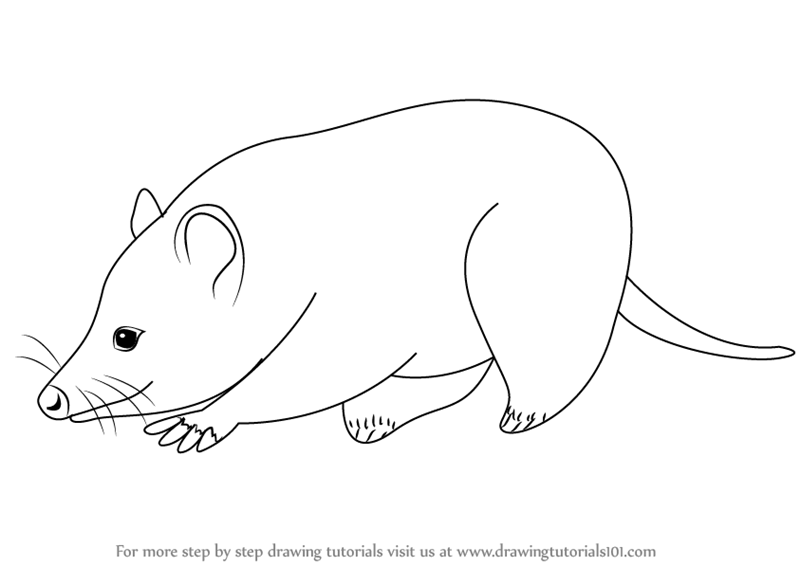 Learn How To Draw A Virginia Opossum Wild Animals Step By Step