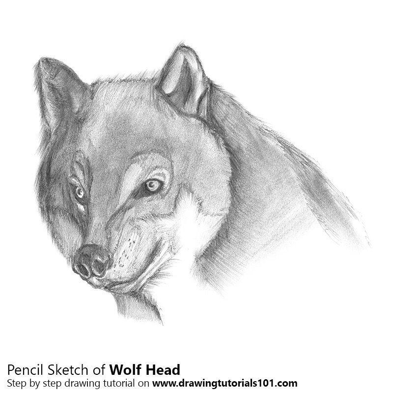 Pencil Sketch of Wolf Head - Pencil Drawing