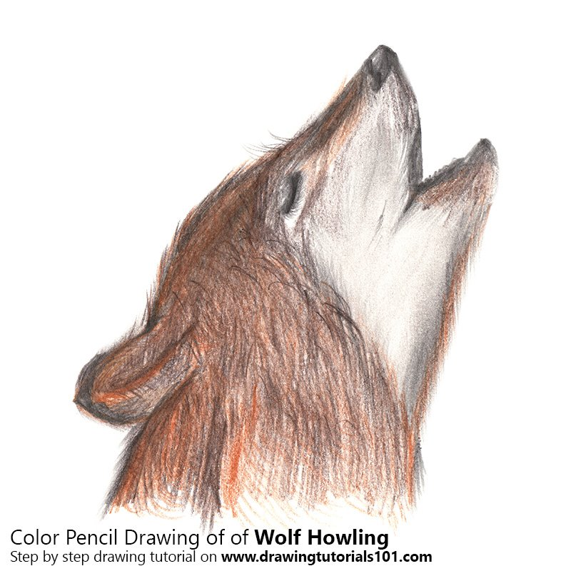 Wolf Howling Colored Pencils Drawing Wolf Howling With Color