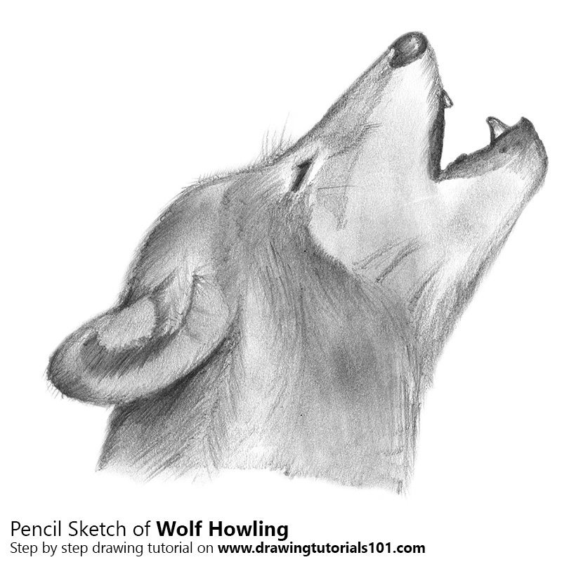 Wolf howling pencil drawing how to sketch wolf howling using pencils drawingtutorials101 com