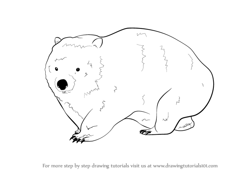 Wombat Drawing Learn How to Draw a Wo...