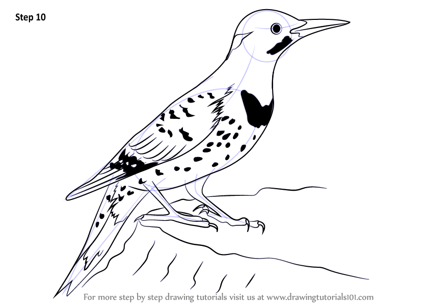 Learn How to Draw a Northern Flicker (Woodpeckers) Step by ... | 844 x 598 png 87kB