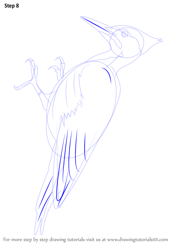 learn how to draw a pileated woodpecker woodpeckers step